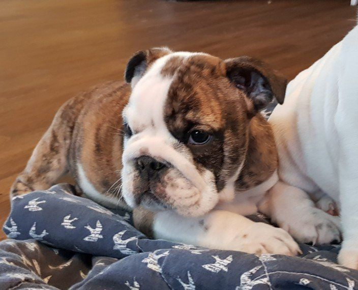 english bulldog puppies az english bulldog puppies for sale phoenix az 294828 8939