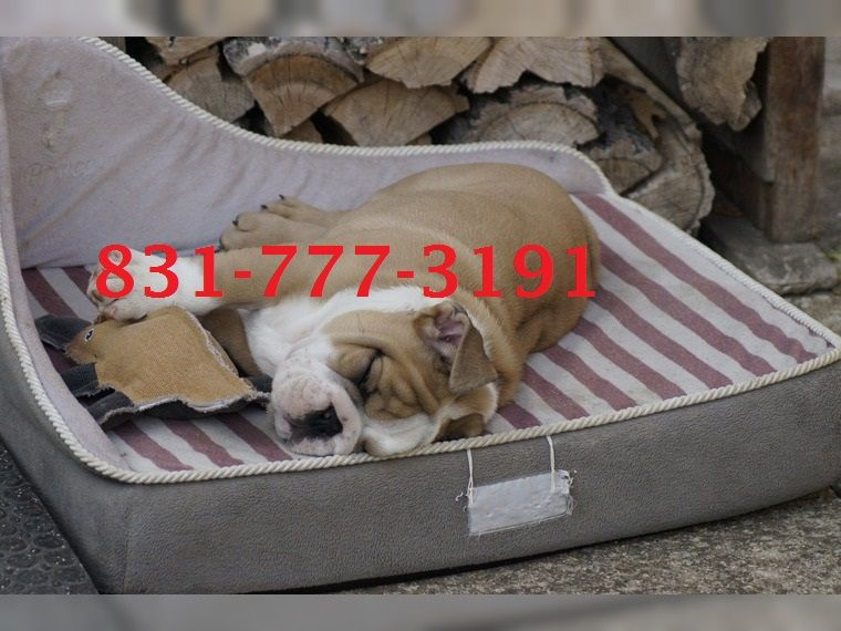 english bulldog puppies for sale in syracuse ny