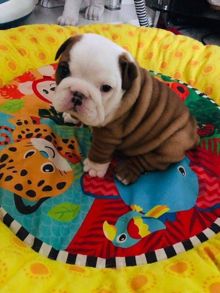 English Bulldog Puppies For Sale Louisville Ky 298025
