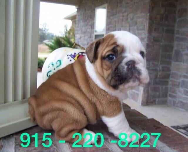 English Bulldog Puppies For Sale | Dallas, TX #301228