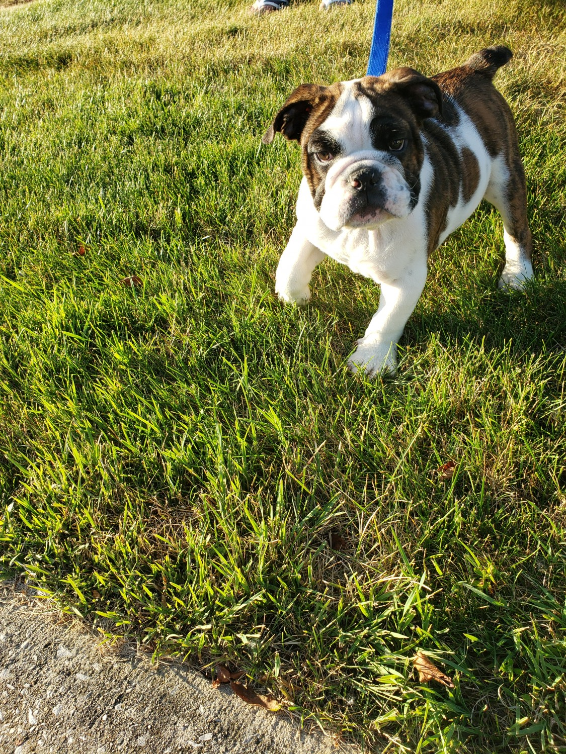 English Bulldog Puppies For Sale Valparaiso In 303040