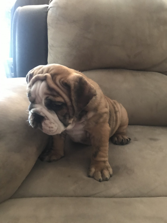 English Bulldog Puppies For Sale Fresno Ca 306813