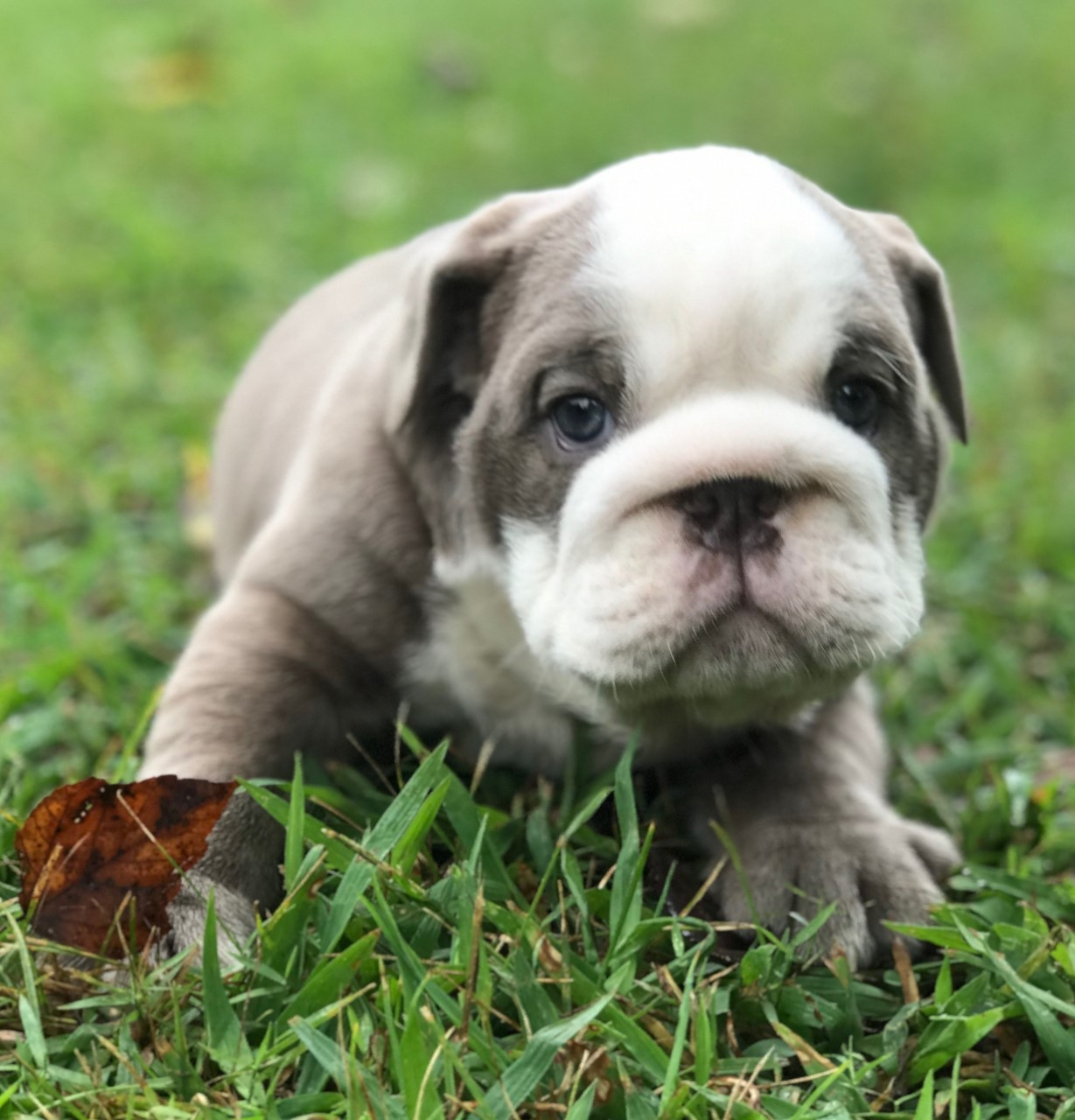 English Bulldog Puppies For Sale Pikeville Ky 308421