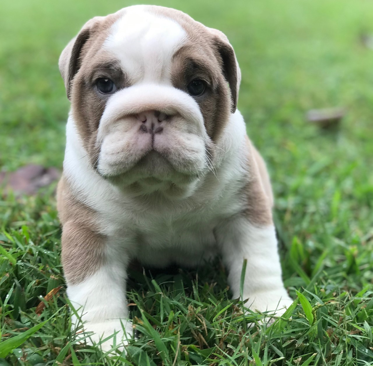 English Bulldog Puppies For Sale Pikeville Ky 308422