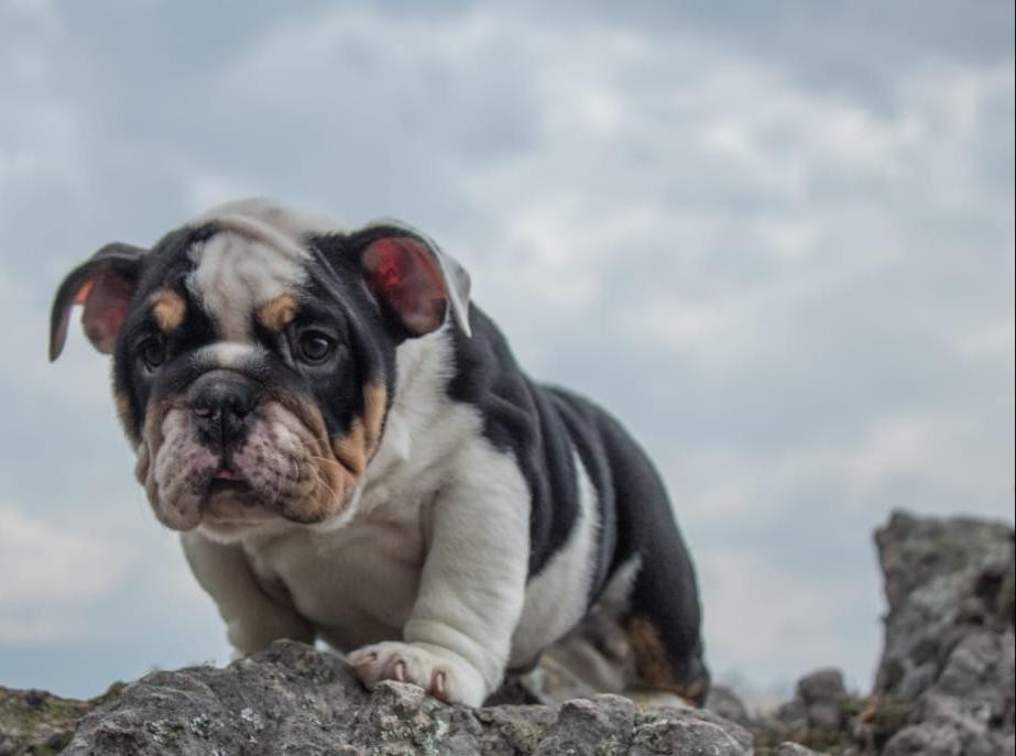 English Bulldog Puppies For Sale Englewood Nj 315178