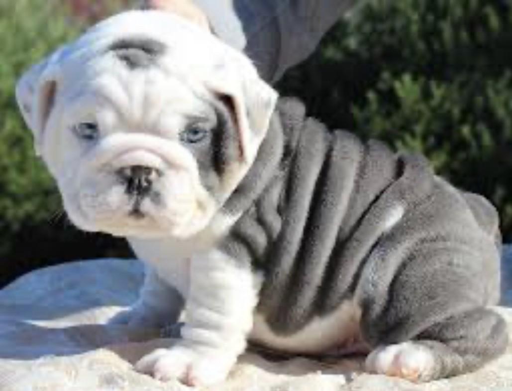 English Bulldog Puppies For Sale | Savannah, GA #322553
