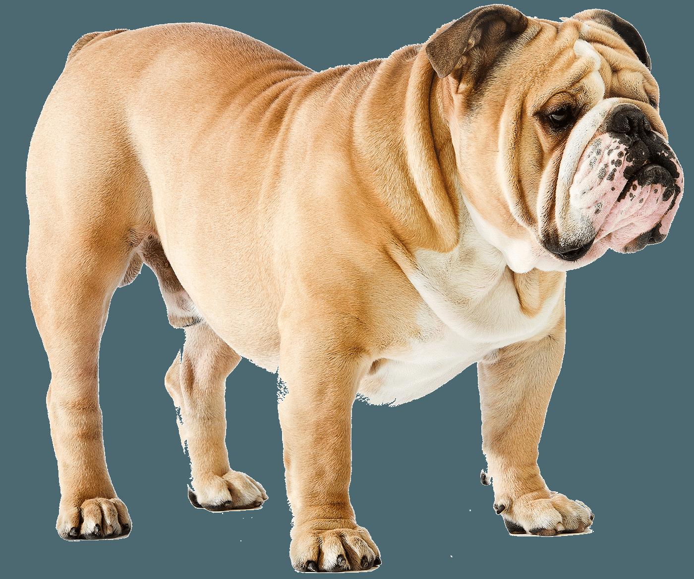Labrador Retriever vs English Bulldog - Breed Comparison