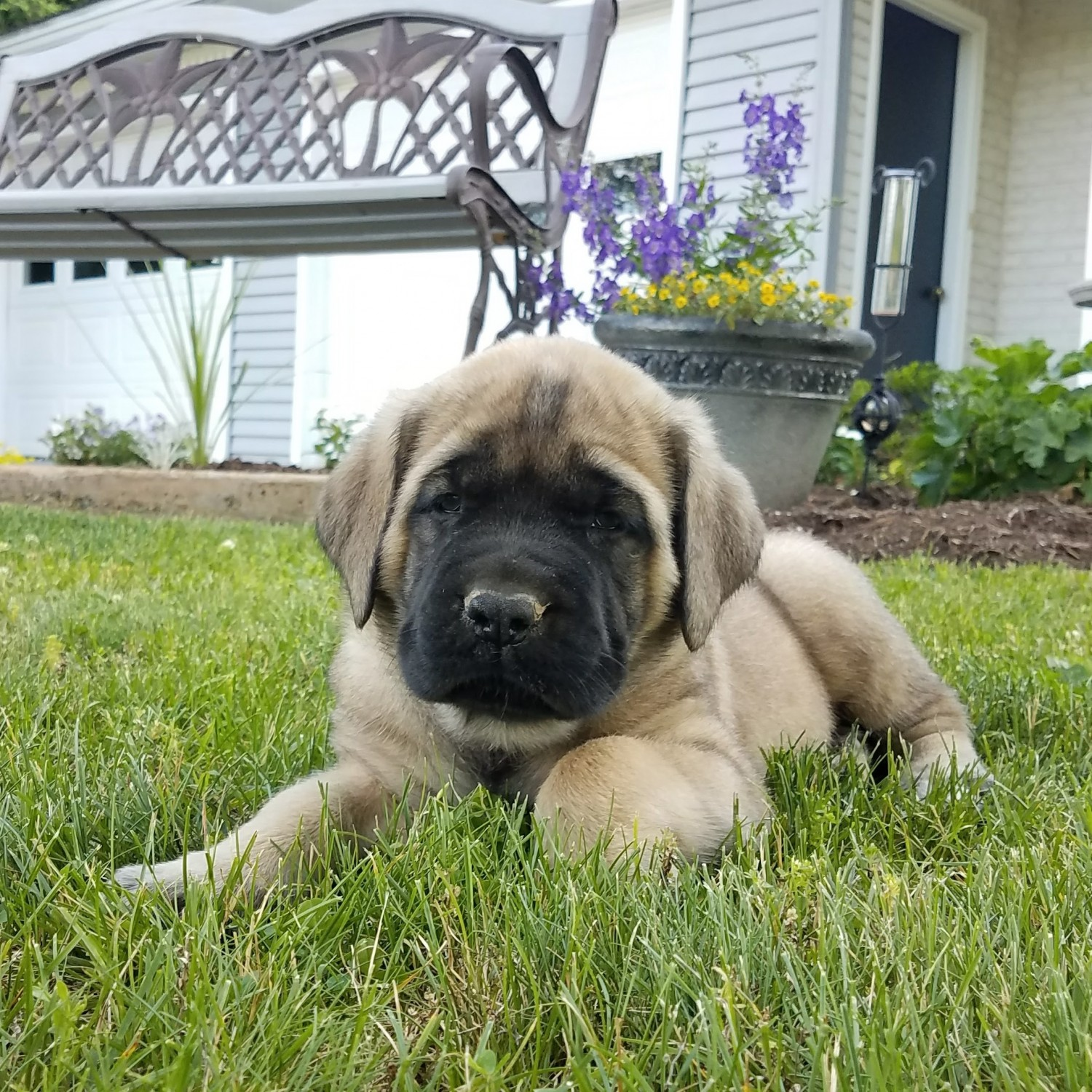 English Mastiff Puppies For Sale Newmanstown Pa 216371