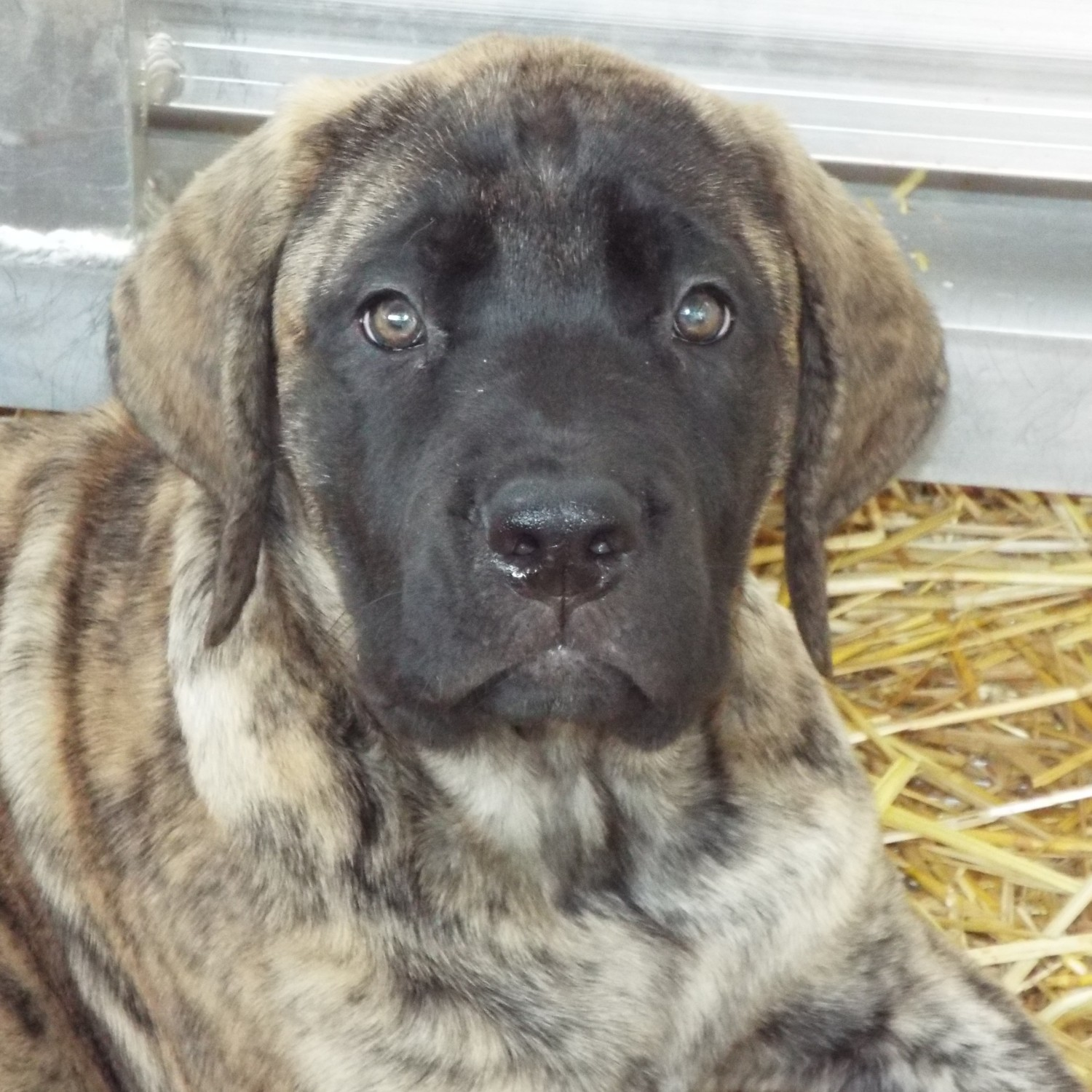 English Mastiff Puppies For Sale Wakeman Oh 194087