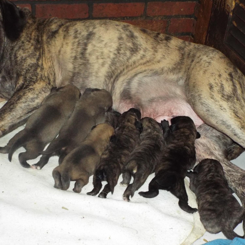 English Mastiff Puppies For Sale   Wakeman, OH #229604