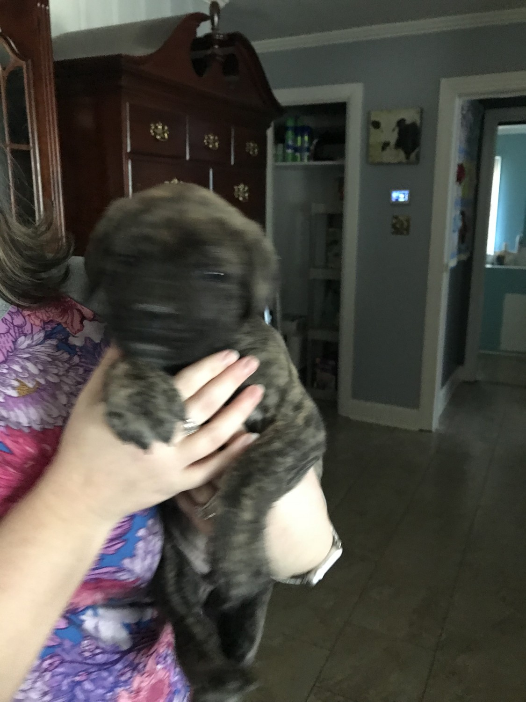 English Mastiff Puppies For Sale Mocksville Nc 268243