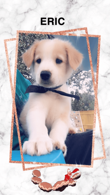 English Shepherd Puppies For Sale | Covington, LA #305091