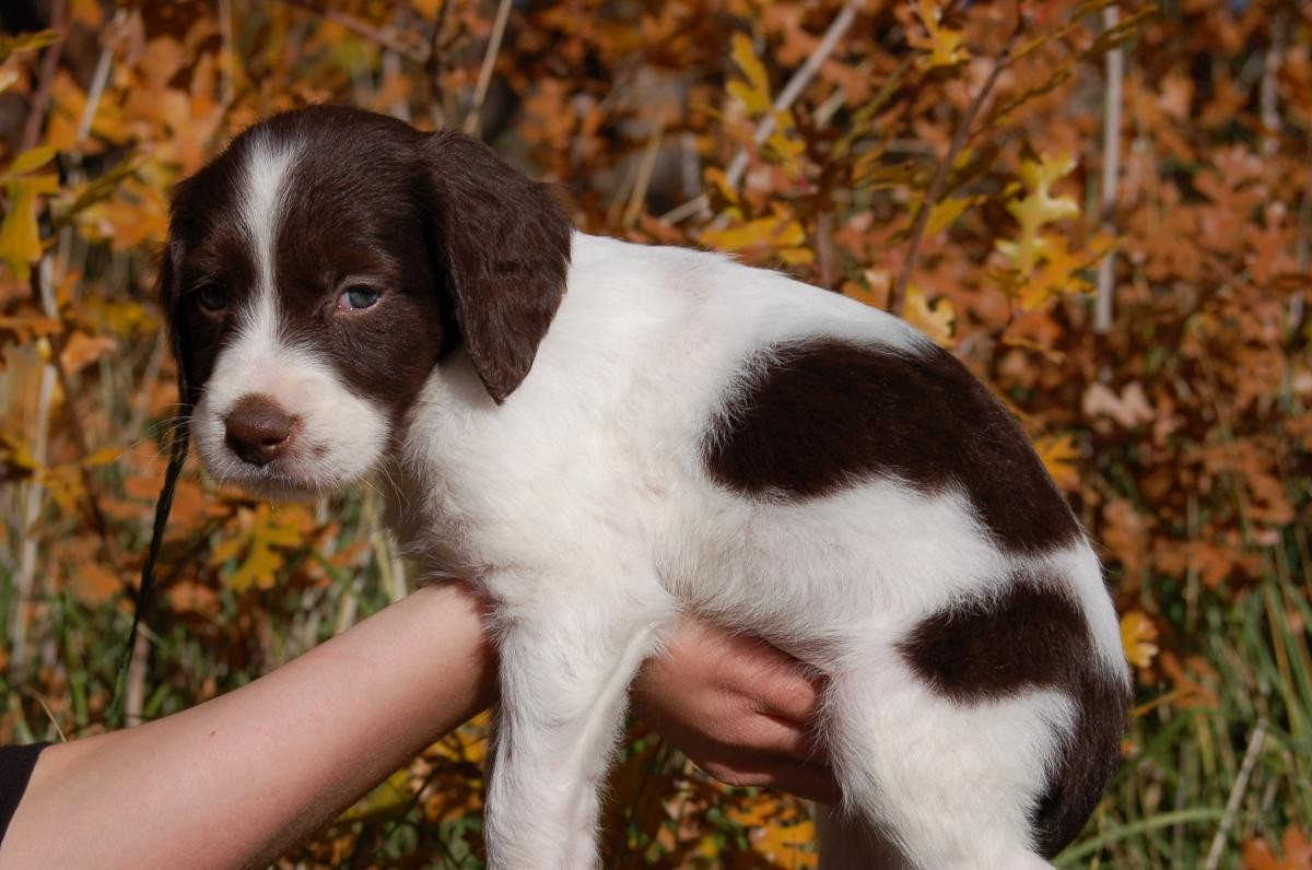 English Springer Spaniel Puppies For Sale | Rochester, NY #153965