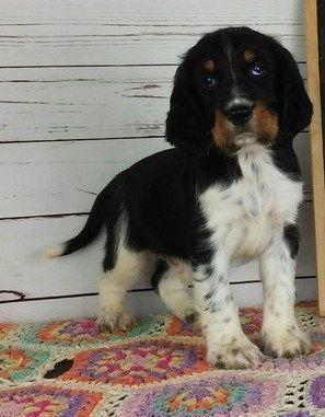 English Springer Spaniel Puppies For Sale Colorado