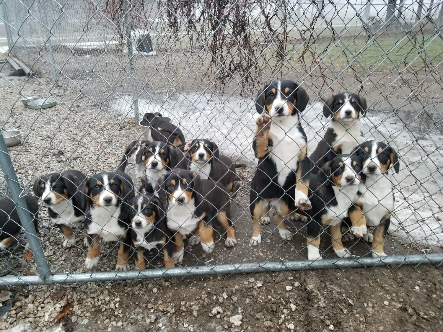 Entlebucher Mountain Dog Puppies For Sale Allendale