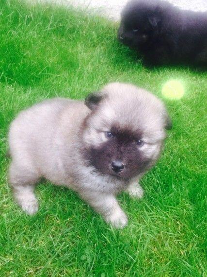 Eurasier Puppies For Sale Sacramento Ca 160057