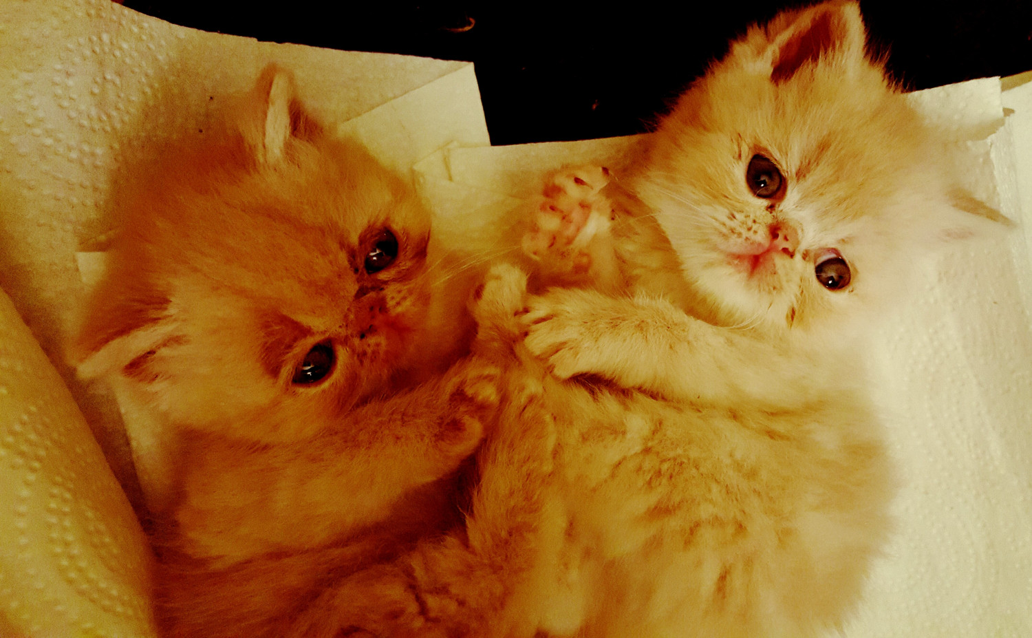 Exotic Shorthair Cats ...