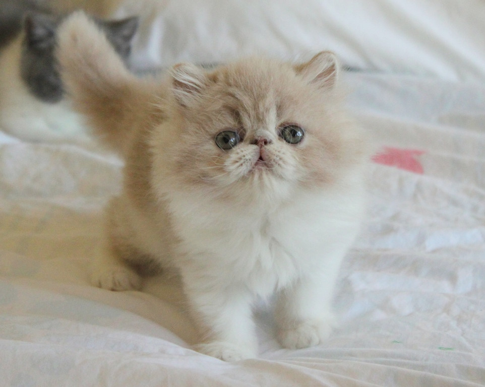 Exotic Shorthair Cat For Sale In Illinois
