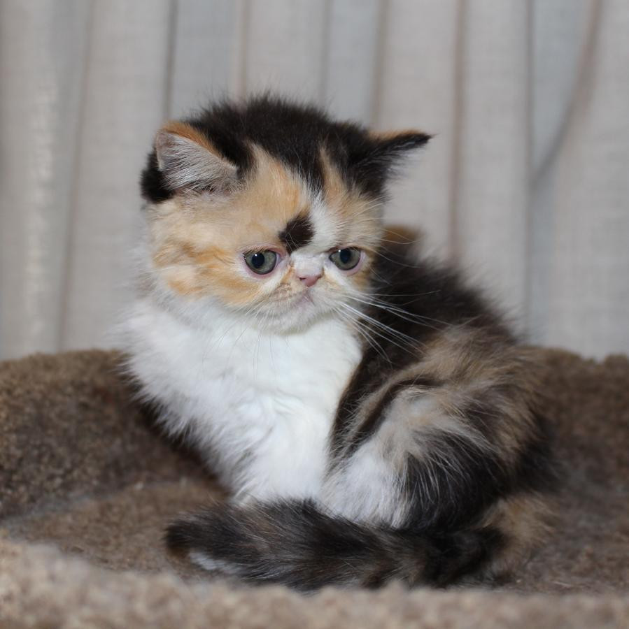 Exotic Shorthair Cats For Sale   Columbus, OH #245373