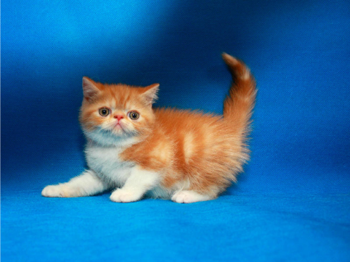Exotic Shorthair Cats For Sale | Main Street District, TX #266229