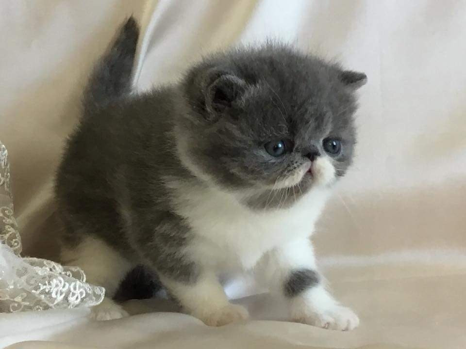 Exotic Birds For Sale >> Exotic Shorthair Cats For Sale | North Miami Beach, FL #267908