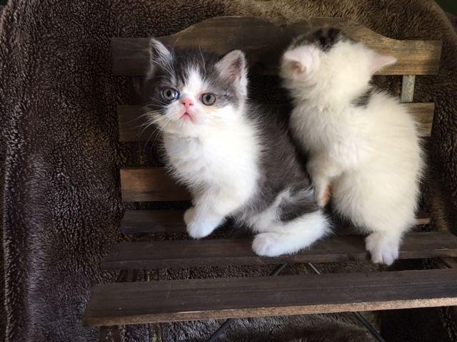 Exotic Shorthair Cats For Sale   Lexington, KY #311461