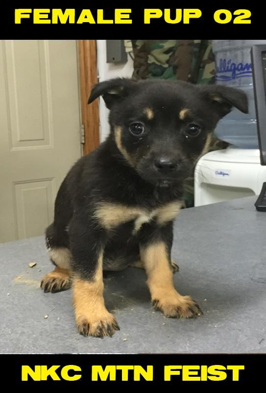 Feist Puppies For Sale Columbus Oh 115082 Petzlover