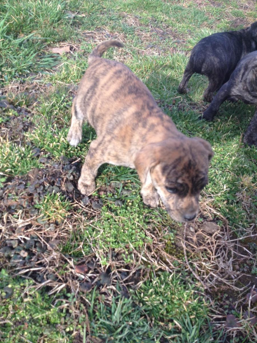 Feist Puppies For Sale Wellston Oh 127528 Petzlover