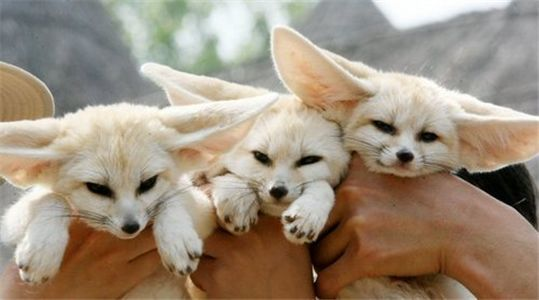 Fennec Fox For Sale In Maine 4 Petzlover