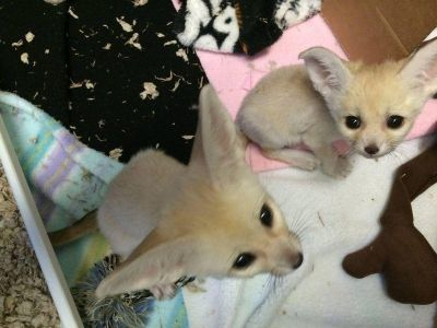 Fennec Fox Animals For Sale Enterprise Al 246395