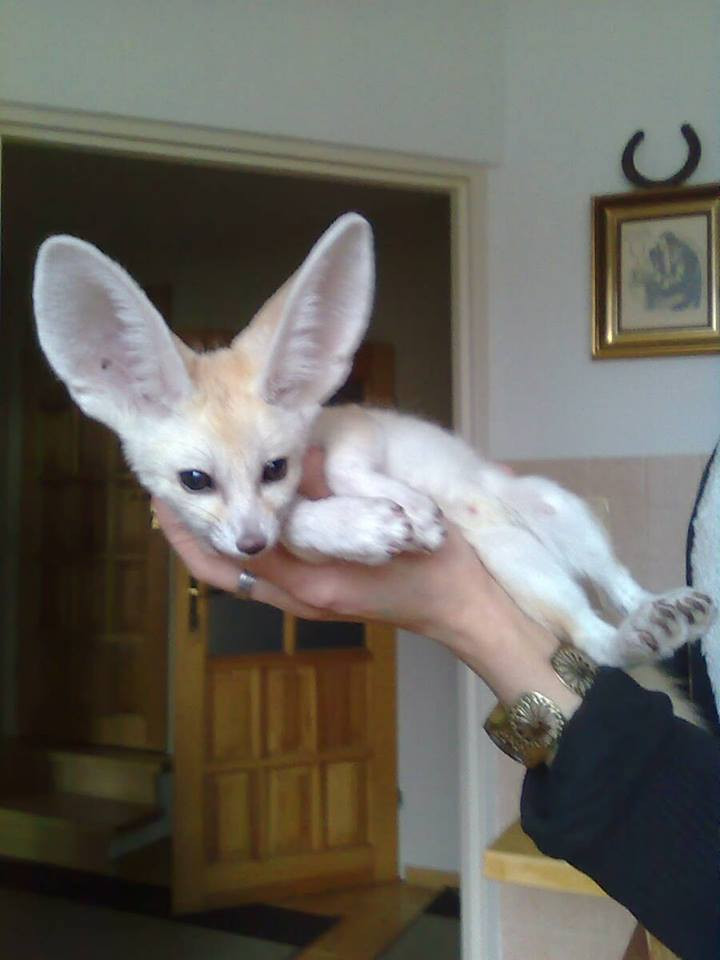 Fennec Fox Animals For Sale South Dixie Highway Fl 280459
