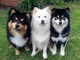 Finnish Lapphund Puppies For Sale Portland Or 244178