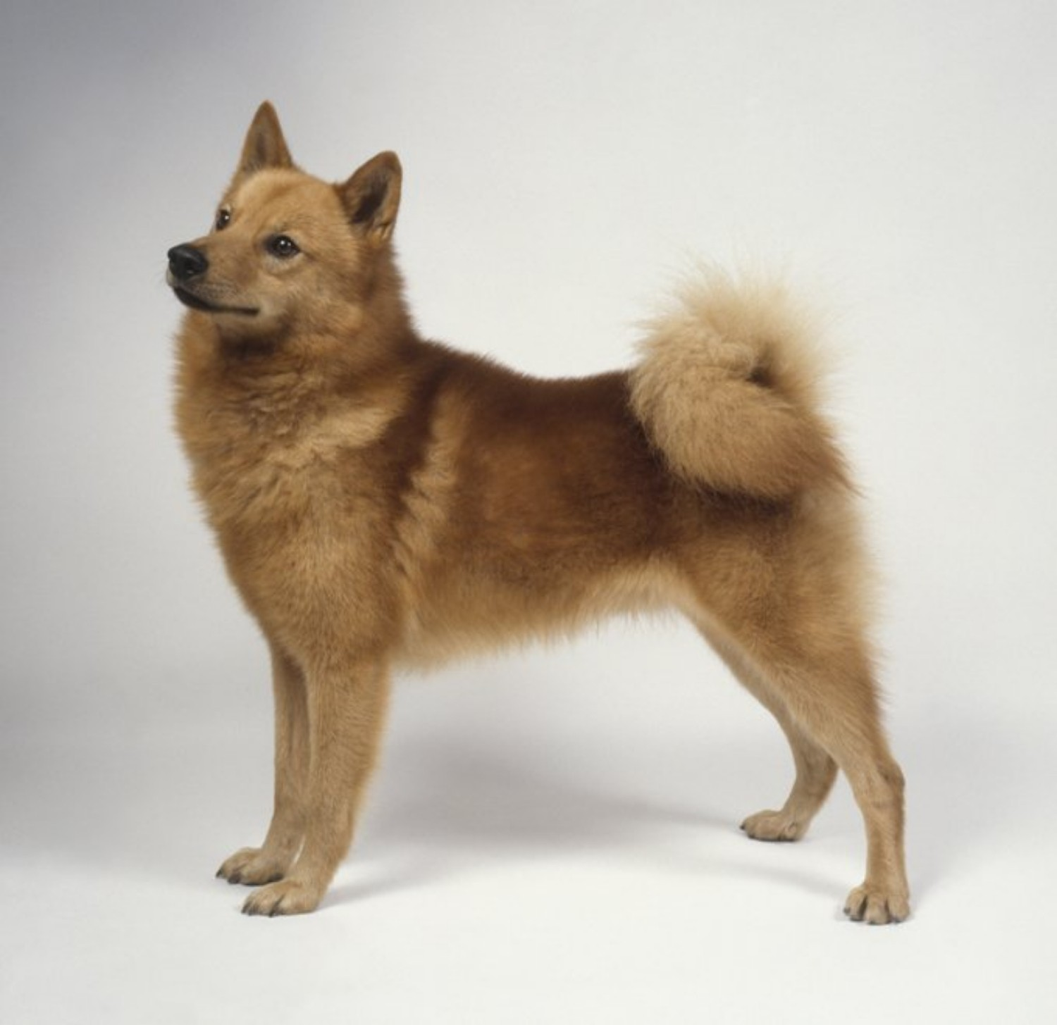 Finnish Spitz Vs Poodle Breed