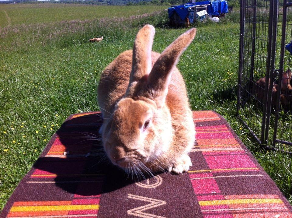 Flemish Giant Rabbits For Sale Philippi Wv 237441
