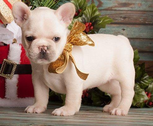 French Bulldog Puppies For Sale Omaha Ne 73658