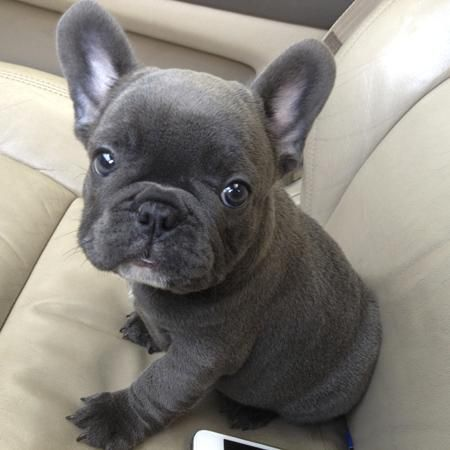 French Bulldog Puppies For Sale Hartford Ct 89837