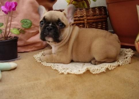 French Bulldog Puppies For Sale Des Moines Ia 138942