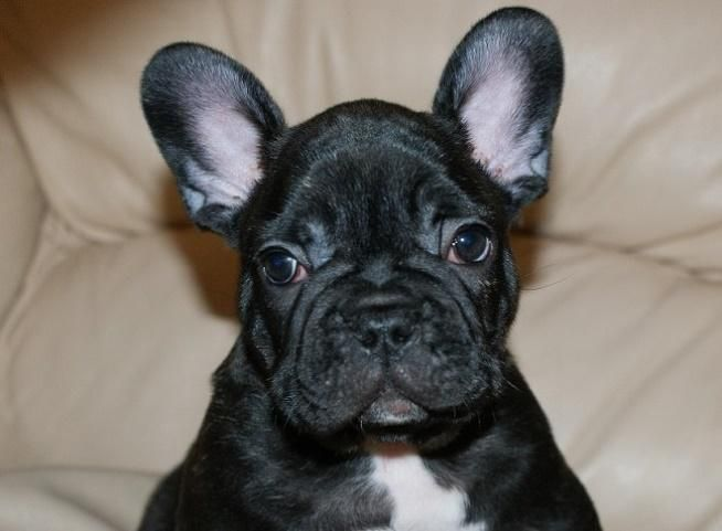 French Bulldog Puppies For Sale | Jacksonville, FL #141397