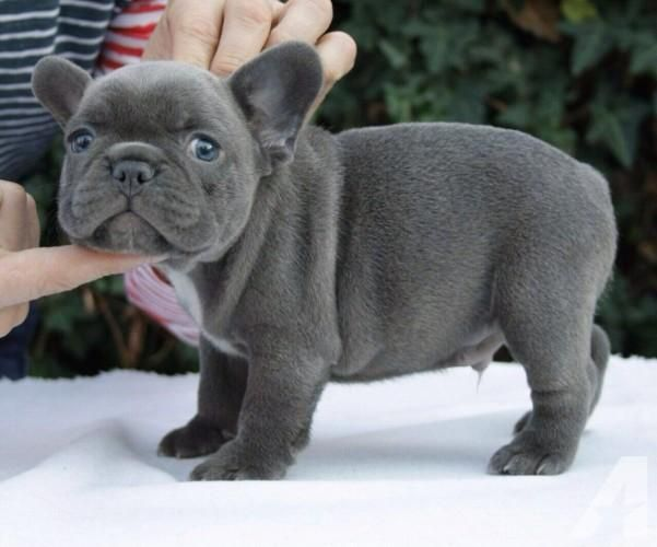 French Bulldog Puppies For Sale East Lansing Mi 141624
