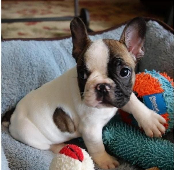 French Bulldog Puppies For Sale Vermont Vt 82680