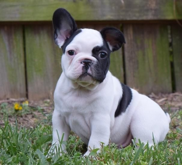French Bulldog Puppies For Sale Buffalo Ny 148417