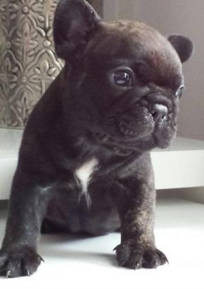 French Bulldog Puppies For Sale Columbus Oh 149788