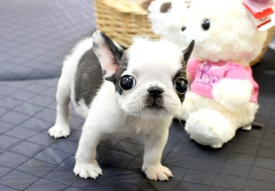 French Bulldog Puppies For Sale | Rochester, NY #151587