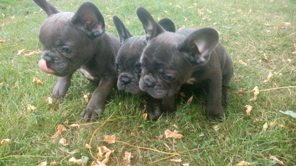 French Bulldog Puppies For Sale Ohiopyle Pa 162715