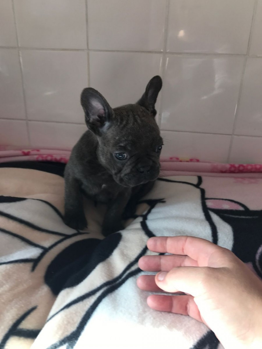 French Bulldog Puppies For Sale Pueblo Co 170789