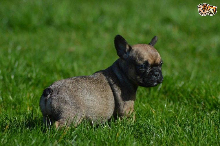 french bulldog breeders texas french bulldog puppies for sale houston tx 192235 4728