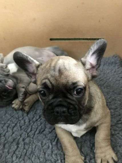 French Bulldog Puppies For Sale El Paso Tx 194327