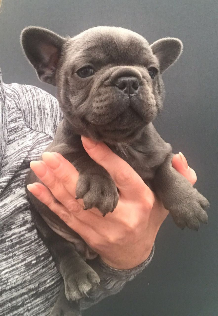 french bulldog for sale in pa french bulldog puppies for sale southwest philadelphia 6950