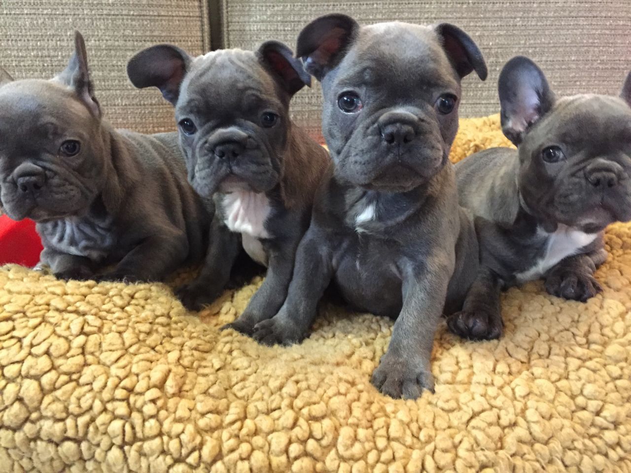 french bulldog for sale in pa french bulldog puppies for sale southwest philadelphia 3369
