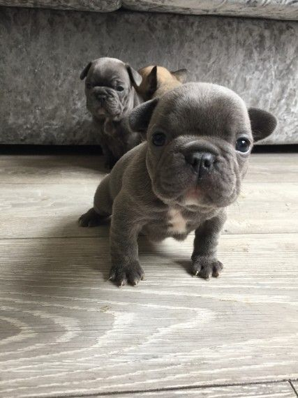 French Bulldog Puppies For Sale Columbus Oh 198058